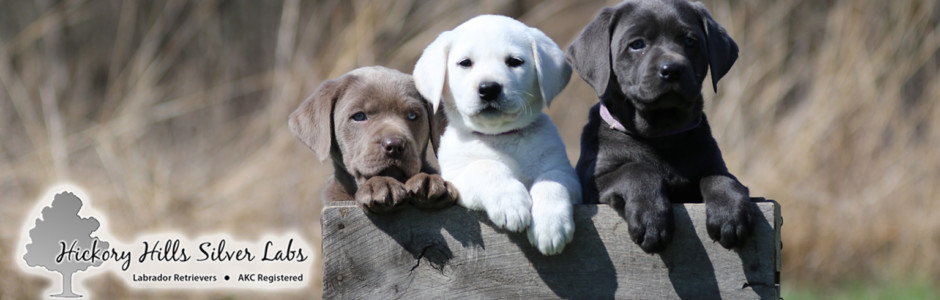 Hickory Hills Silver Lab Puppies | Washington, Indiana